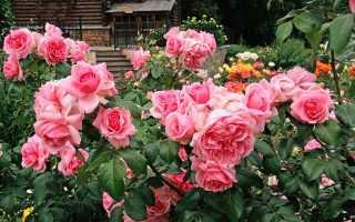 Пять розовых роз. Розовые розы кустовая картинки и фотографии