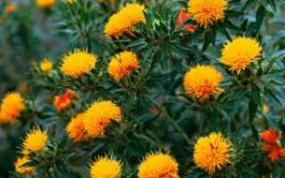 Сафлор выращивание из семян. Сафлор – технология возделывания