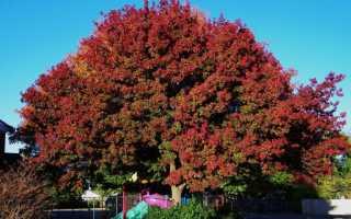 Красный дуб фото в ландшафтном дизайне. Дуб красный: описание и фото дерева