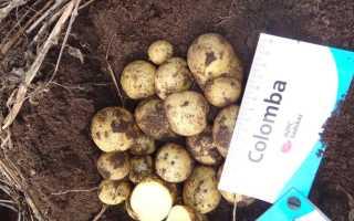 Коломбо картофель характеристика отзывы. Картофель «Коломбо»: описание сорта, фото и отзывы
