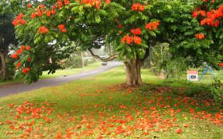Спатодея африканское тюльпанное дерево в домашних условиях. Экзотическая красота: Африканское тюльпанное дерево