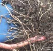 Посадка ежевики осенью в подмосковье. Тонкости посадки ежевики: правила ухода и подготовки почвы для ежевики