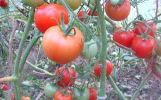 Помидоры вождь краснокожих отзывы. Сорт томат «Вождь краснокожих»: описание и характеристика