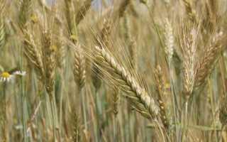 Рожь районы выращивания. Агробизнес: выращивание ржи