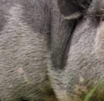 Количество корма на одну свинью. Сколько комбикорма съедает свинья в день