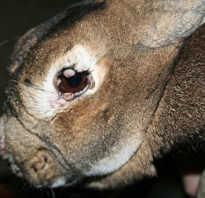 Можно ли есть мясо заболевшего кролика. Можно ли есть мясо кролика при миксоматозе