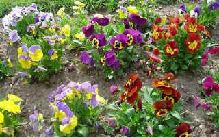 Фиалка садовая многолетняя посадка и уход. Фиалка садовая посадка и уход в открытом грунте