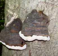 Не образуют микоризу шампиньоны. Грибы образуют микоризу с растениями. Микориза древесных пород