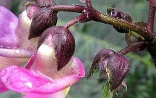 Пурпурная королева фасоль. ФАСОЛЬ ПУРПУРНАЯ КОРОЛЕВА 1 кг