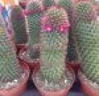 Маммиллярия когда цветет. Маммиллярия: 30 видов кактуса и особенности ухода в домашних условиях