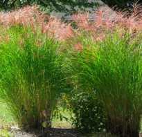 Мискантус краснеющий. Мискантус китайский, краснеющий или Китайский камы/Miscanthus sinensis,purpurascens