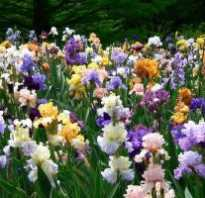 Петушки цветы посадка и уход. Выращивание цветов петушки и уход за ними на дачном участке