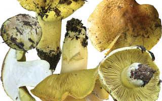 Подзеленки рецепт. Рецепты грибов подзеленки