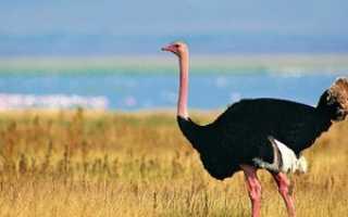 Страус это птица или нет. Вся правда о том что страус — это птица или животное