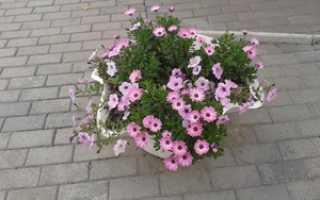 Остеоспермум фото на клумбе. Остеоспермум — фото, посадка и уход, выращивание из семян в домашних условиях