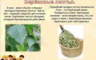 Чем полезна береза для человека. Береза пушистая: польза и лечебное применение