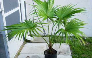 Пальма ливингстона фото. Пальма ливистона: популярные виды, выращивание из семян