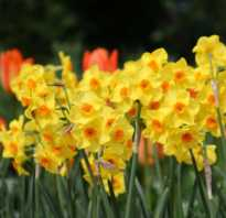 Нарцисс цветок уход в домашних условиях. Цветок нарцисс — ранний символ красоты