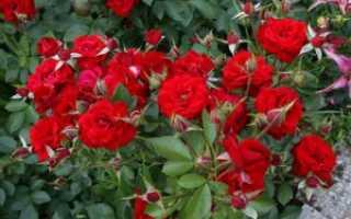 Роза никколо паганини фото и описание. Розы «Никколо Паганини» («Niccolo Paganini»): посадка и уход