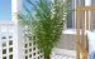 Садовые пальмы фото и названия. Комнатные растения пальмы: названия домашних пальм и их фото