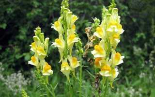 Цветок льнянки. Льнянка: описание, лечебные свойства травы, применение, фото
