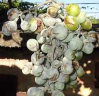 Оидиум винограда фото и чем лечить. Оидиум на винограде