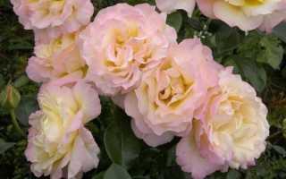 Сорт розы глория дей описание и фото. Роза Глория Дей, посадка и уход