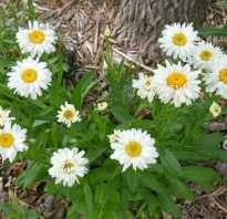 Ромашка разновидности фото. Ромашка садовая: виды, правила размножения и ухода