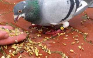 Можно ли голубям давать горох. Что едят голуби?