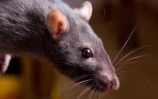 Чернокорень лекарственный от мышей. Чернокорень лекарственный — трава от мышей, крыс, кротов и насекомых.