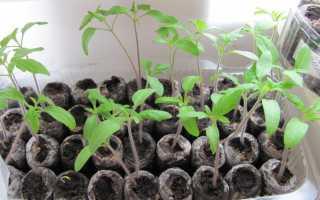 Прорастание семян помидоров. Проращивание семян помидоров на рассаду