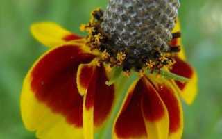 Ратибида сомбреро выращивание из семян. Ратибида мексиканская шляпа Выращивание из семян Посадка и уход в открытом грунте Фото видов