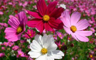 Космея фото цветов рассада когда сажать. Изящная и простая космея: посадка, выращивание, уход