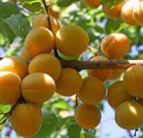 Сорта абрикос фото с названием и описанием. Лучшие сорта абрикосов для средней полосы (фото, описания, отзывы садоводов)