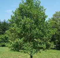 Ольха осенью картинки. Дерево ольха на фото. Описание, область применения