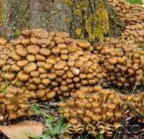 Летний опенок фото. Съедобные грибы летние опята: фото, описание