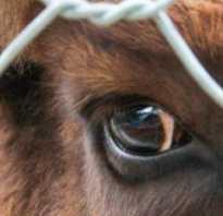 Лептоспироз у коров симптомы и лечение. Методы лечения и профилактики лептоспироза коров