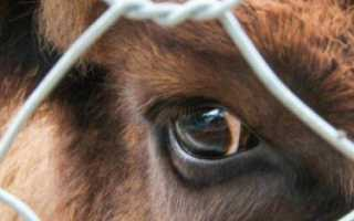 Лептоспироз вакцинация крс. Особенности лептоспироза крупного рогатого скота и методы лечения