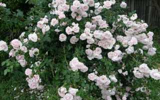 Роза нью даунтаун.