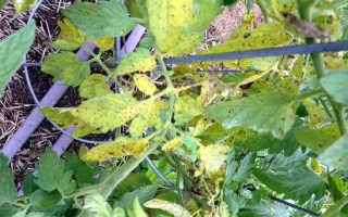 У помидор желтеют нижние листья. Почему желтеют листья у помидоров в теплице и открытом грунте?