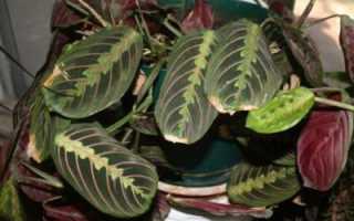 Маранта сохнут листья. Что делать, если желтеют и сохнут листья у маранты? Основные болезни и вредители