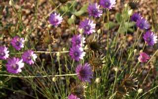 Ксерантемум фото. Ксерантемум или сухоцветник: выращивание и уход, высушивание для зимних букетов