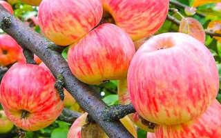 Яблоня коричневая полосатая описание фото отзывы. Сорт яблони Коричное полосатое
