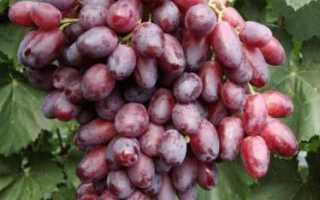 Сорт винограда ризамат устойчивый фото и описание. Виноград Ризамат — сладкий гость из Узбекистана! Посадка, обрезка и формирование куста