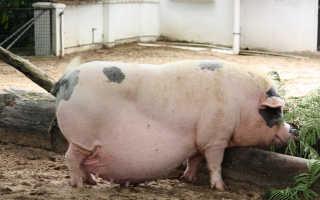 Свинья не может опороситься что делать. Что делать при опоросе свиньи и как получить максимально жизнеспособное поголовье поросят