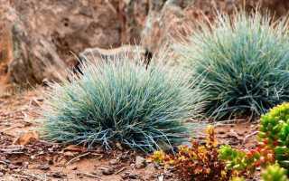 Овсянка голубая. Декоративная трава овсяница голубая: описание, фото, посадка и уход
