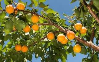 Самоплодные сорта абрикоса для подмосковья. Самоплодные абрикосы для Подмосковья: лучшие сорта и правила агротехники