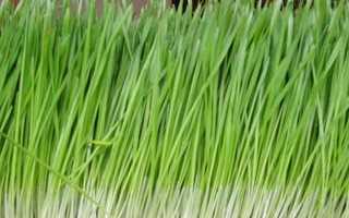 Растение цитронелла. Цитронелла