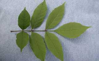 Семя ясеня фото. Светлый красавец ясень