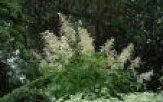 Растение волжанка посадка и уход. Многолетний кустарник волжанка, посадка и уход